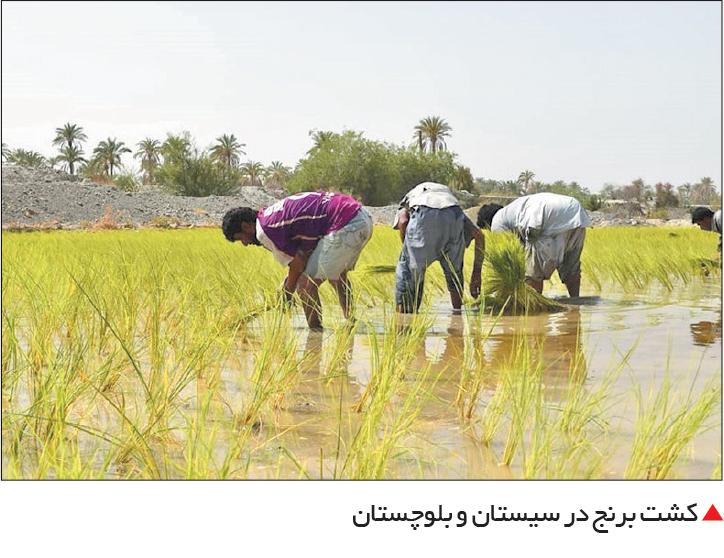 تجارت فردا-  کشت برنج در سیستان و بلوچستان
